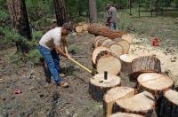 Tăierea ilegală a pădurilor, sancționată cu... o mustrare